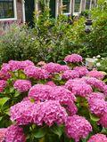 Un jardín con las plantas florecientes del hortensia del rosa Foto de archivo libre de regalías