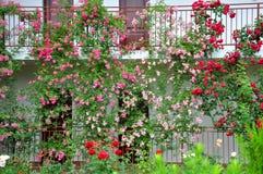 Un jardín de flor hermoso de rosas Imagen de archivo libre de regalías