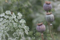 Un jardín de las amapolas de opio y de Eltrot Imagen de archivo libre de regalías