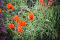 Un jardín verde con las amapolas rojas brillantes Imágenes de archivo libres de regalías