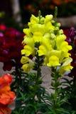 Un jardin d'agrément rentré par fleur jaune de Gladioli photographie stock