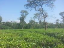 Un jardin de thé Photographie stock libre de droits