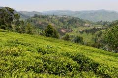 Un jardin de thé dans l'Inde Images libres de droits