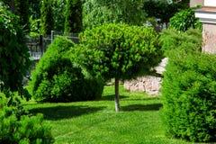 Un jardin des pins à feuilles persistantes photo stock