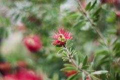 Un jardin frais de ressort avec la fleur rouge contre les jeunes jaunes blancs de source de fleur de concept de fond Photographie stock