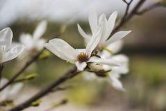 Un jardin frais de ressort avec la magnolia blanche contre les jeunes jaunes blancs de source de fleur de concept de fond Photos stock
