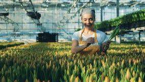 Un jardinero escoge tulipanes de camas de flor en un invernadero almacen de video