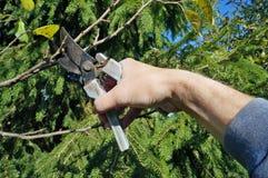 Un jardinero mayor del hombre corta ramas secas innecesarias en un au imagen de archivo