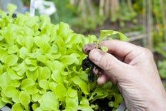 Un jardinier trouant un plan de laitue Photo libre de droits