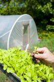 Un jardinier trouant une usine de laitue Photographie stock libre de droits