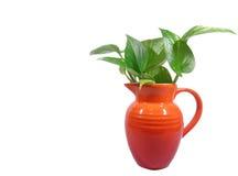 Un jarro rojo brillante con las hojas del verde aisladas en el fondo blanco Fotografía de archivo