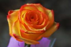 Un jaune-rouge important une rose L'effet de lueur Fond foncé clo Photo stock