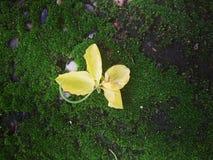 un jaune sur le plancher vert photographie stock