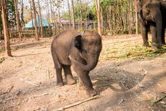 Un jeune éléphant Images libres de droits
