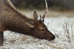 Un jeune élan trouve l'herbe sous la neige Photos stock