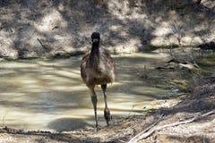Un jeune émeu à côté de l'eau Photographie stock libre de droits