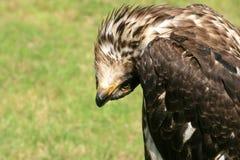 Un jeune aigle chauve de plaisanterie Photo libre de droits