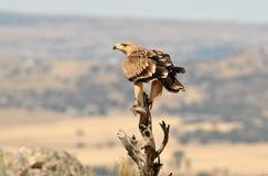 Un jeune aigle impérial Photographie stock libre de droits