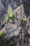 Un jeune arbre de sapin s'élevant sur une roche dans le soleil de matin Photos stock