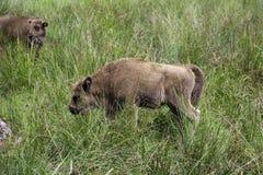 Un jeune bison dans Belovezhskaya Pushcha Photo libre de droits