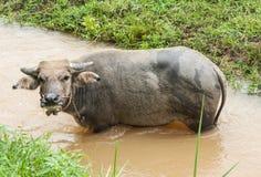 Un jeune buffle mangeant une certaine herbe Photos stock