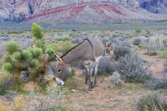 Burros sauvages Image libre de droits