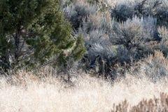 Un jeune cerf commun de mule caché Photographie stock