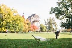 Un jeune cerf commun et un paon marchent dans un pré près du château de Blatna dans la République Tchèque photo libre de droits