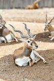 Un jeune cerf commun mâle se repose dans la prise de masse Photographie stock libre de droits