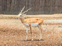 Un jeune cerf commun masculin dans la terre Photo libre de droits