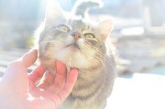Un jeune chat gris apprécie la manière que son cou est rayé Une main d'humain frotte le cou d'un animal familier Images stock