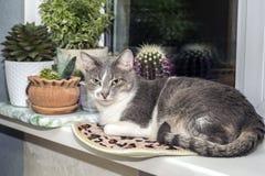 Un jeune chat gris avec une queue rayée se repose sur le rebord de fenêtre contre les cactus dans l'attention photos stock