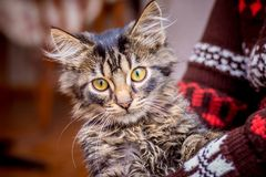 Un jeune chat rayé sur les mains de la maîtresse Les regards de chat photo libre de droits