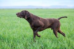 Un jeune chien de chasse brun musculaire se tient à un point dans le domaine parmi l'herbe verte Un jour chaud de ressort photo libre de droits