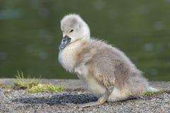 Un jeune cygne au terrain communal de Southampton photographie stock libre de droits