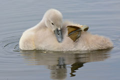 Un jeune cygne dormant sur l'eau photographie stock libre de droits