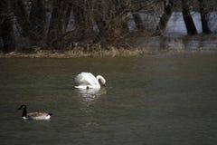 Un jeune cygne nage calmement sur l'eau photo stock