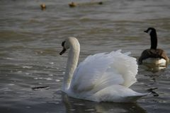 Un jeune cygne nage calmement sur l'eau images libres de droits
