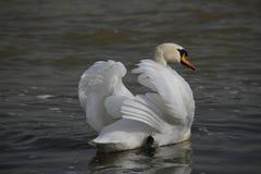 Un jeune cygne nage calmement sur l'eau images stock