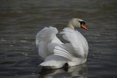 Un jeune cygne nage calmement sur l'eau photo libre de droits