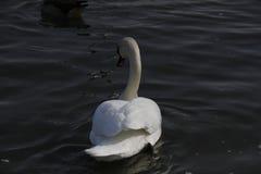 Un jeune cygne nage calmement sur l'eau photographie stock libre de droits
