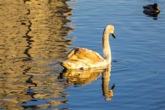 Un jeune cygne nage dans le lac de ville image stock