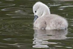 Un jeune cygne sur l'eau image libre de droits