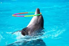 Un jeune dauphin jouant dans l'eau bleue avec un cercle Photo stock