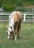 Un jeune et heureux cheval de palomino Photographie stock libre de droits