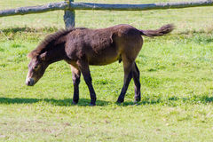 Un jeune Exmoor-poney Images libres de droits