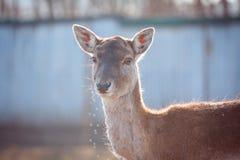 Un jeune faon à la lumière du soleil douce, cerf commun, animal Images libres de droits