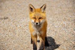 Un jeune Fox rouge regarde fixement près du lac Dease, AVANT JÉSUS CHRIST, Canada photographie stock libre de droits
