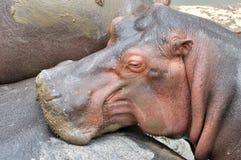 Un jeune hippopotame africain et sa famille Image stock