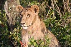 Un jeune lion avec des favoris image stock